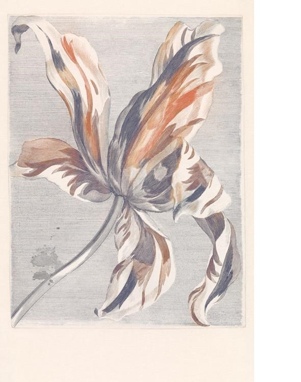 Intrade Tulip Teyler marine Tapet