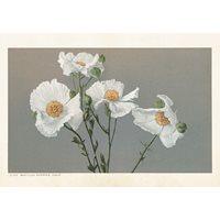 Poster Matilija Poppy flowers, 50x35 cm