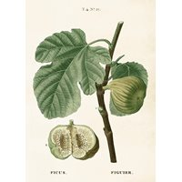 Poster Figs, 50x70 cm