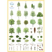 Plansch 17 Svenska träd