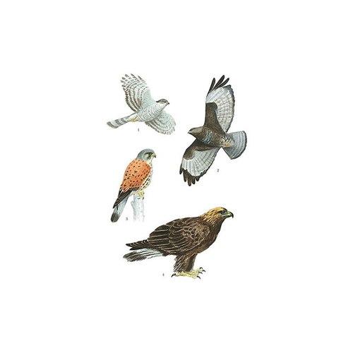 Vykort Rovfåglar