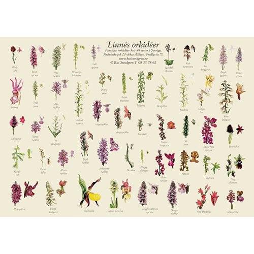 Vykort Linnés orkidéer A4